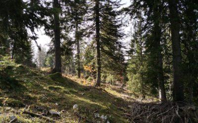La Fondation Suisse pour le Climat soutient le rajeunissement de forêts trop âgées