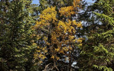 Une succession d'étés secs a affaibli les forêts suisses