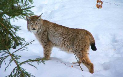 La SFS dit non à la révision de la loi sur la chasse