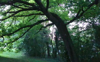 Contribution à l'histoire récente de la protection des arbres à Genève
