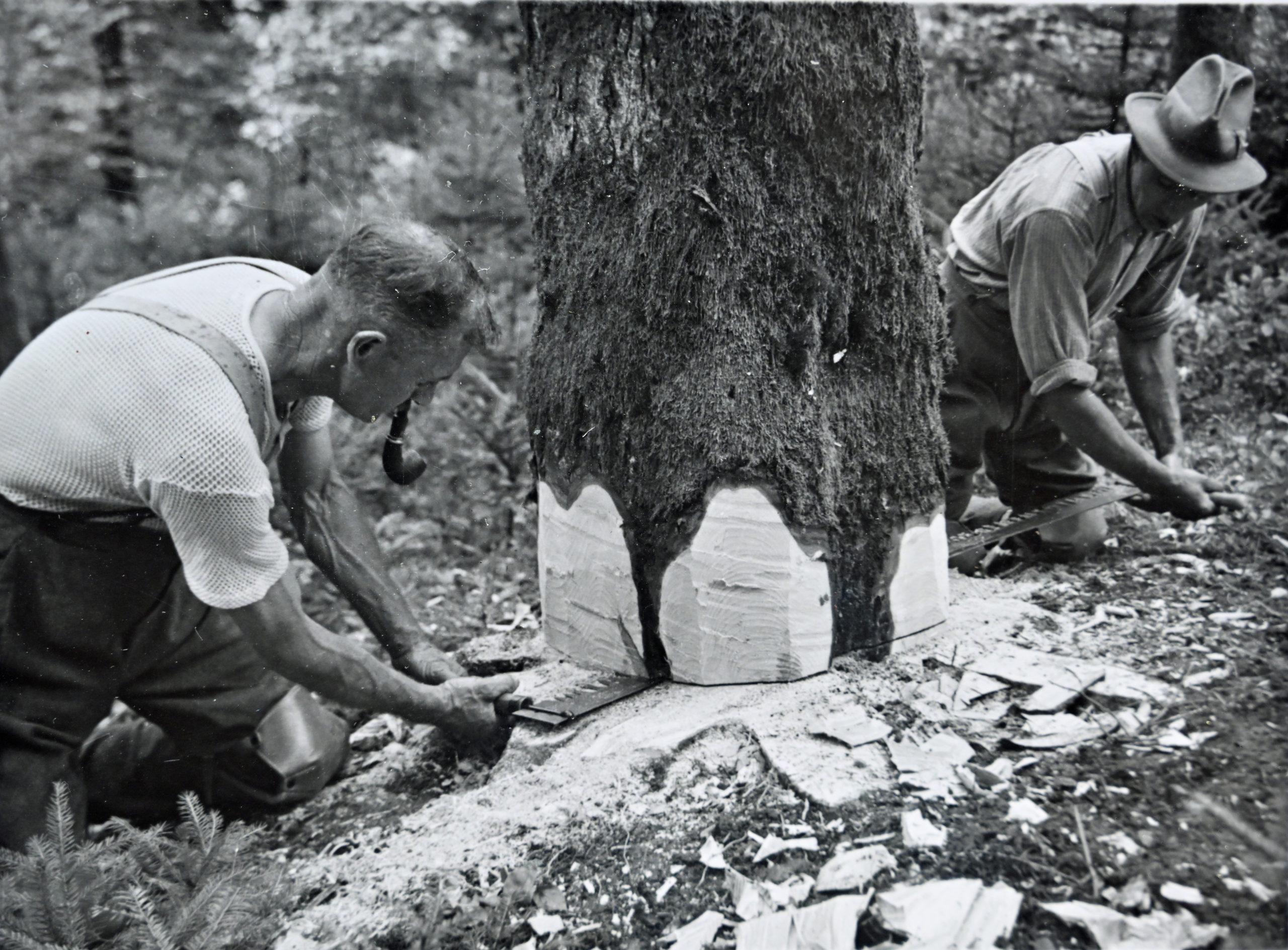 Deux bûcherons abattant un arbre à la scie passe-partout en 1963. Photo ForêtSuisse